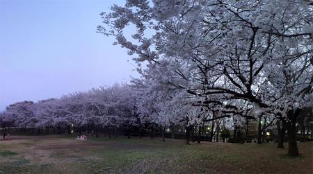 2015 sakura.jpg